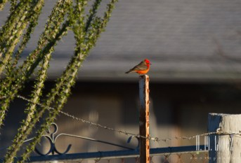 Vermillion flycatcher!