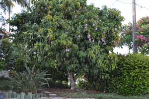mango tree full of fruit