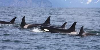 killer whale migration