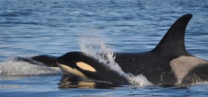 orca whales san juan island