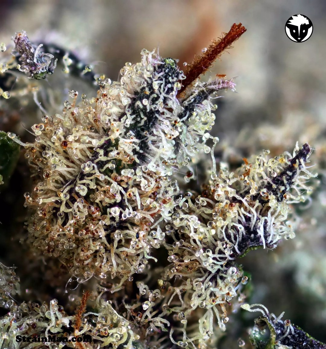 Cannabis Strain Review, 501st OG ( Skywalker OG x Rare Dankness #1) Cannabis Strain Review, ISMOKE