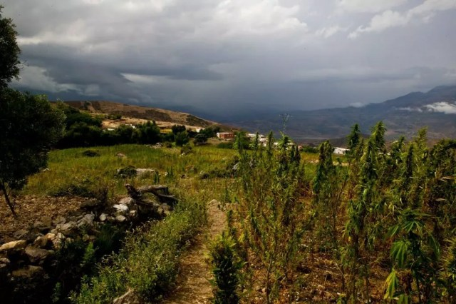 , Exploding the myth that strong cannabis is a new phenomenon
