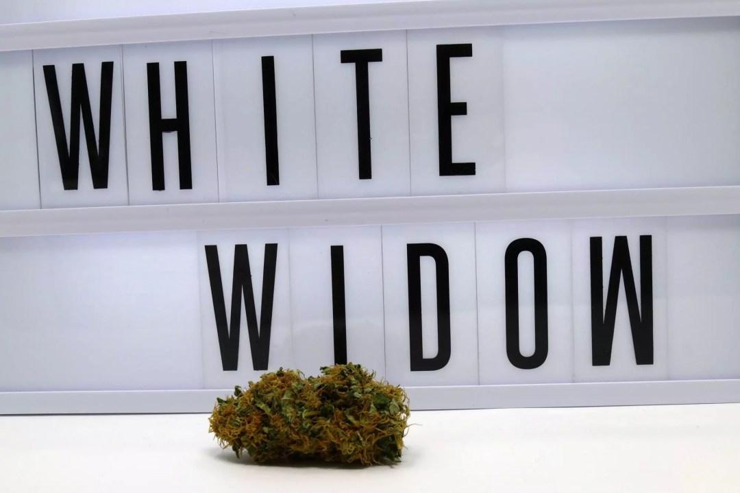 Organic White Widow, White Widow Cannabis Strain Information Feature, ISMOKE