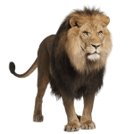 Englands National Animal Barbary Lion