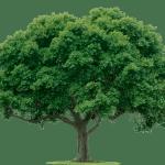Royal Oak Tree England