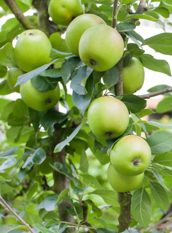 Dorsett Apple Tree - Ison's Nursery & Vineyard