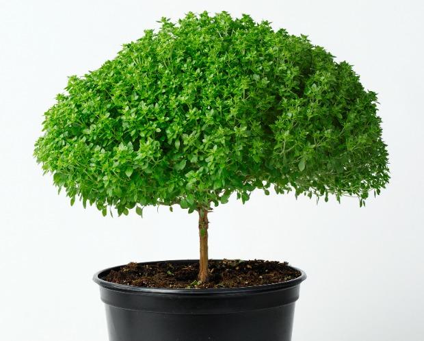 Hishtil's basil tree can grow indoors.