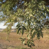 שיטה מלבינה Faidherbia albida, Acacia albida, Ana tree