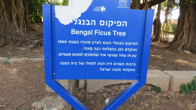 Banyan Trees Mikveh Yisrael