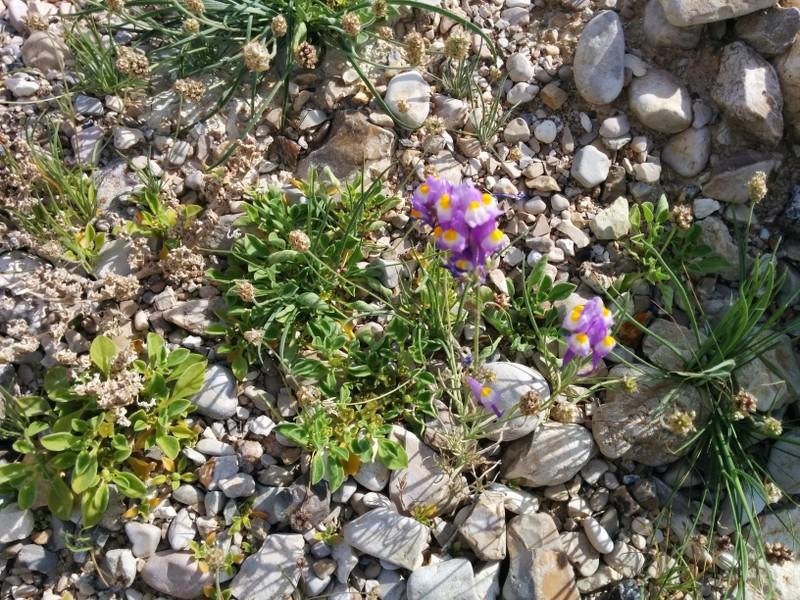 Dead Sea shore flowers