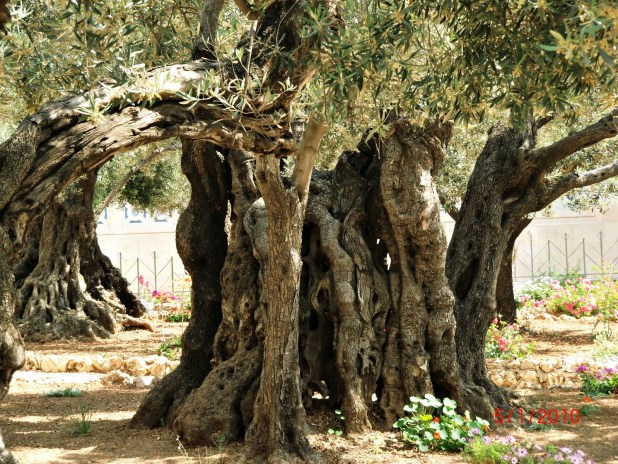 Gethsemane-tree at Church of All Nations - http://crosschurch.com/blog/?p=596