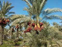У озера Кинерет - израильские субтропики (и самые вкусные финики)