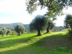 Grote tuin met olijfbomen