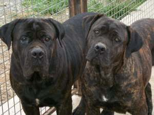 cane_corso with hears