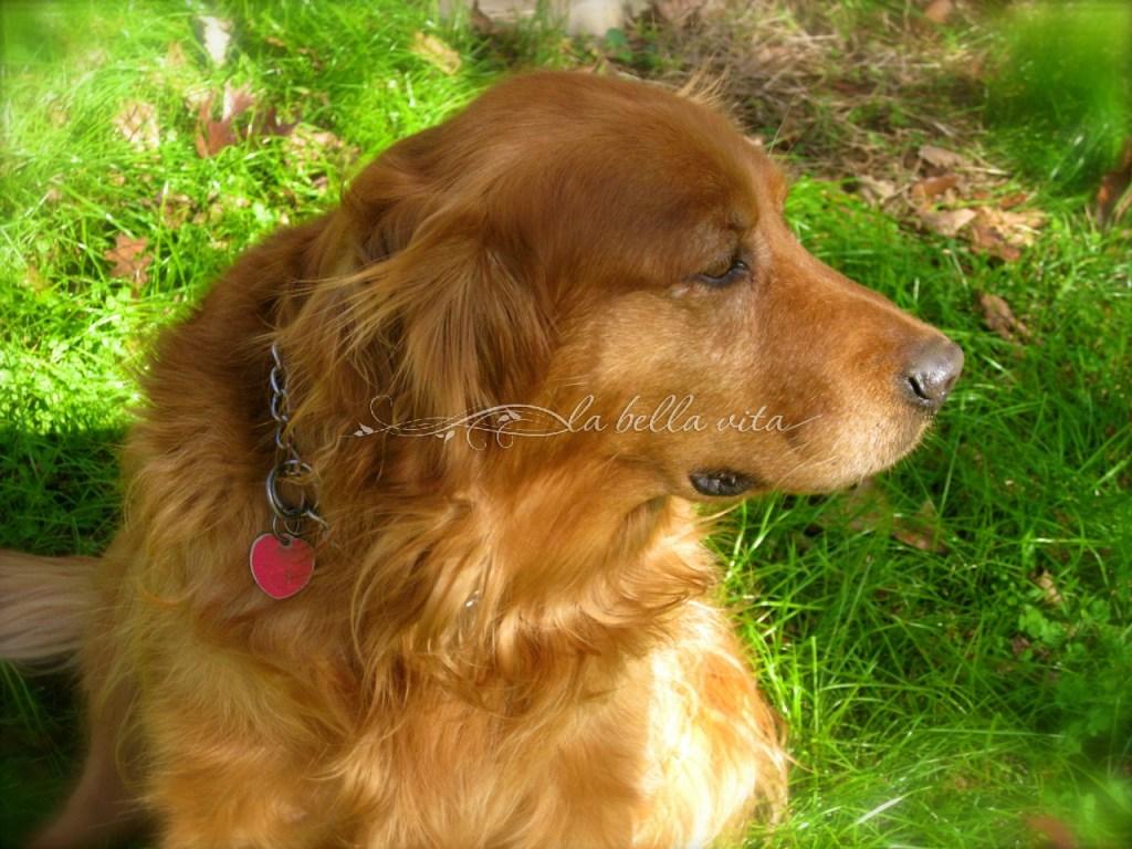 Buckey, our beautiful Golden Retriever 2003 - 2015