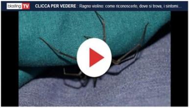 Ragno Violino - it-blastingnews-com - 350X200