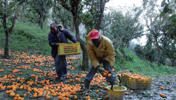 Agricoltura, in Italia i lavoratori irregolari sono circa 430 mila