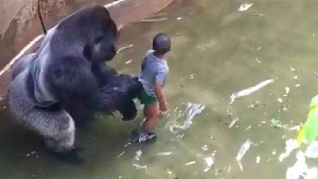 gorilla_cincinnati 160530.nbcnews-1080-600