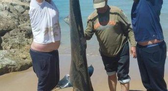 Squalo Ventresca di due metri e mezzo pescato all'ingresso del porto di Scoglitti