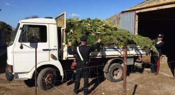 Bonorva. Altri arresti dei carabinieri per la piantagione di marijuana sequestrata lo scorso ottobre nelle campagne di Siligo