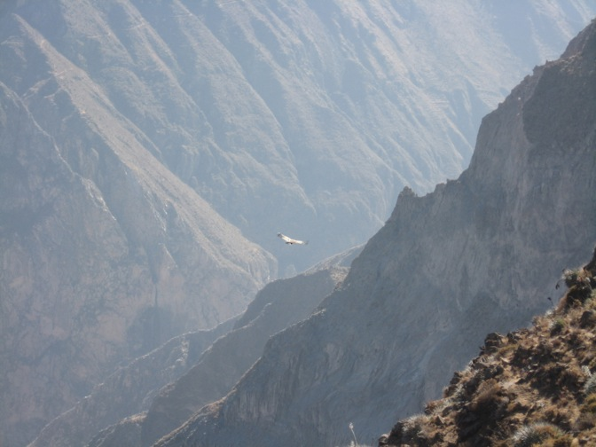 The Andean condors in Colca Canyon, Peru