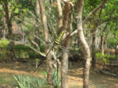 Thailand spider