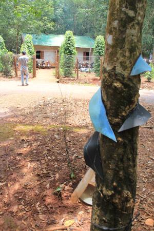 Dak Lak, Vietnam rubber tree farm