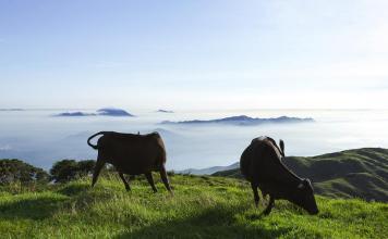Feral Cattle Feral Cows on Tai Mo Shan 野牛 流浪牛