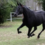 Black Horse Hd Wallpapers Black Wild Mustang Horses 1892342 Hd Wallpaper Backgrounds Download