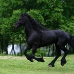 Black Horse Wallpaper Friesian Black Running Horse Friesian Black Horse Running 2534187 Hd Wallpaper Backgrounds Download