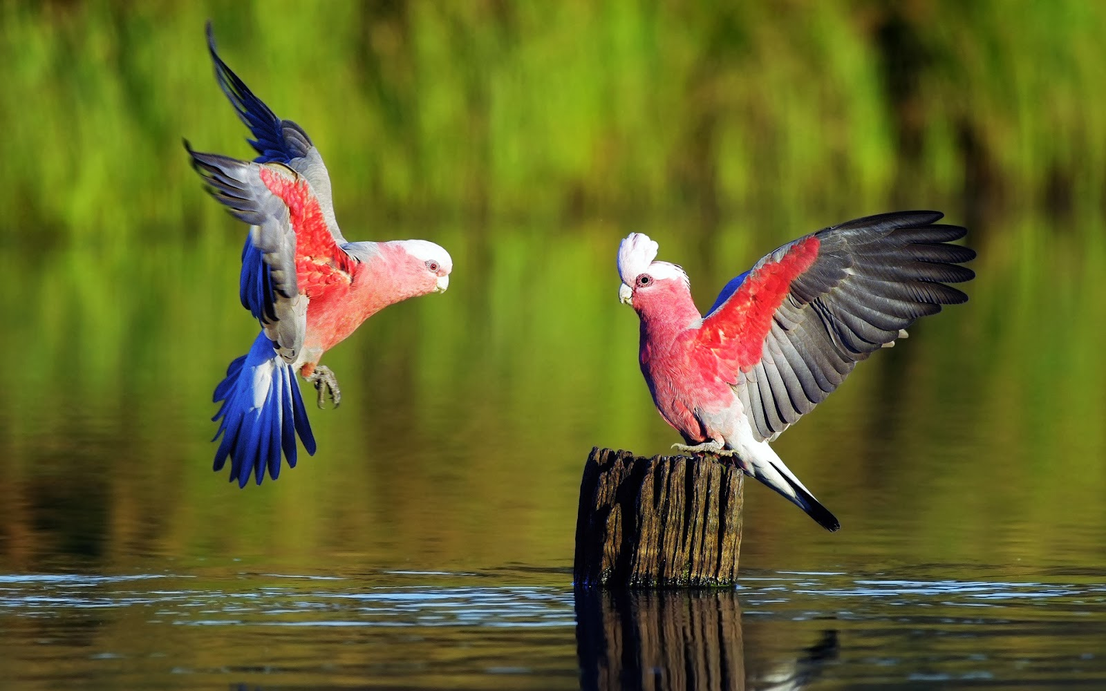 Beautiful Galah Parrot Birds On The Water Hd Wallpaper Most Beautiful Bird In The World Hd 671036 Hd Wallpaper Backgrounds Download