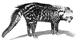 A civet cat