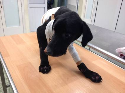 Phoenix the dog set on fire in Greece continues to improve