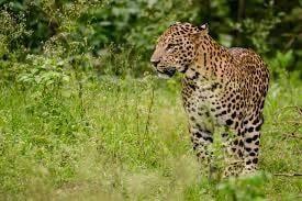 indian_leopard-min