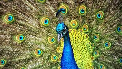 Photo of 'Peacock' may be identified as a vermin in Goa, proposes state's Agriculture Minister