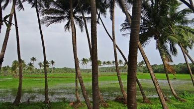 Photo of Government in reverse mode: Coconut to go from 'grass' to 'tree', State Tree!