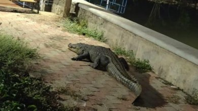 Photo of Crocodile takes a moonlit stroll along the Torda creek