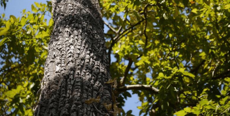State Tree of Goa The Matti Tree or Indian Laurel