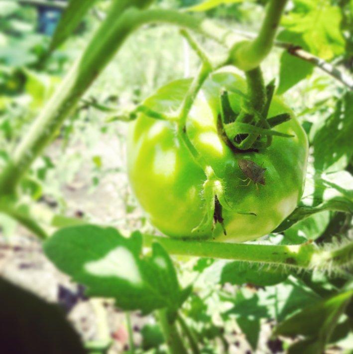 Squash bug on tomato