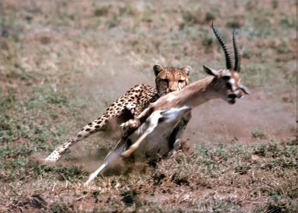 Thomson's Gazelle – Gazella thomsoni - Ground Mammals
