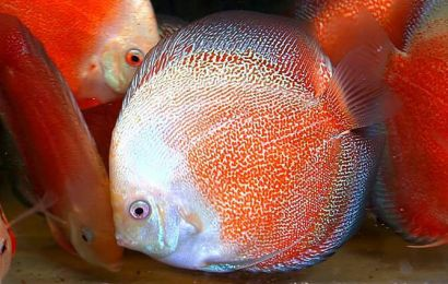 Things to remember while Hatching Discus Fry.