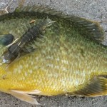 hybrid sunfish on Nikko hellgrammite