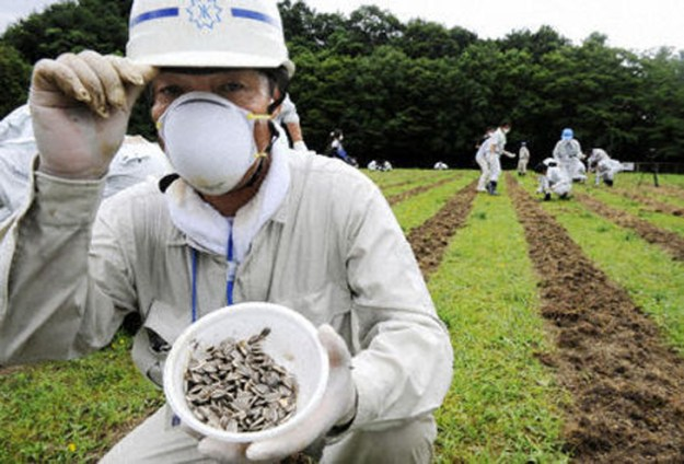 Sunflower seeds sowed in Fukushima to lower radiation levels
