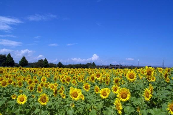 sunflowers japan radiation photo by Kazuhiko Teramoto 580x387 ดอกทานตะวันนับล้านกำลังช่วยดูดซับสารกัมมันตภาพรังสีที่ ฟูกูจิมา