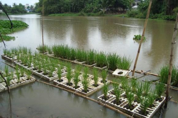 มาปลูกข้าวไทยลอยน้ำกันเถอะ 14 - Thai rice