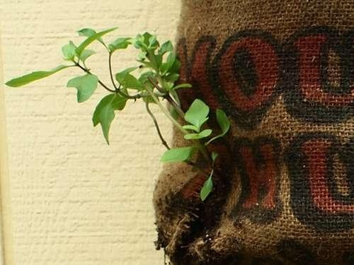 25550509 192853 Garden Sack สวนกระสอบ...ปลูกผักสวนครัว แบบไม่ต้องการพื้นที่