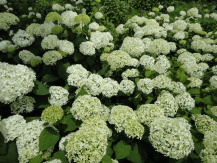 Anabelle, smal white flowers make a big bouquet