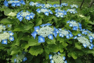 World travel with Hydrangea 25 - Flower