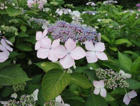 สิ่งที่น่ารู้เกี่ยวกับดอกไฮเดรนเยีย Hydrangea 16 -