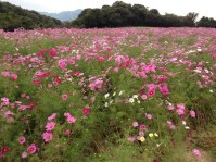 Huge flower field almost cover the entire hill